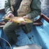 Close up of Corrib trout March 2015