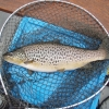 c.5lbs trout caught and returned, Mike Shanks, 25 March 2015