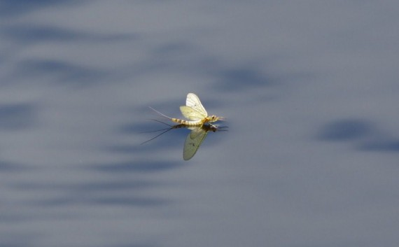 Mayfly on water