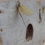 Mayfly on box